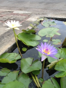 A lotus thriving in a concrete tub on the roadside in Thailand