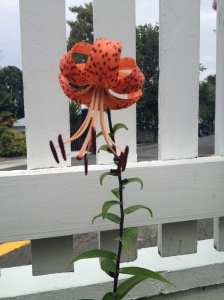 A tiger lily from my garden, just like the ones my mother and grandmother grew.