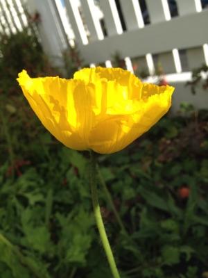 Poppy  August 2014